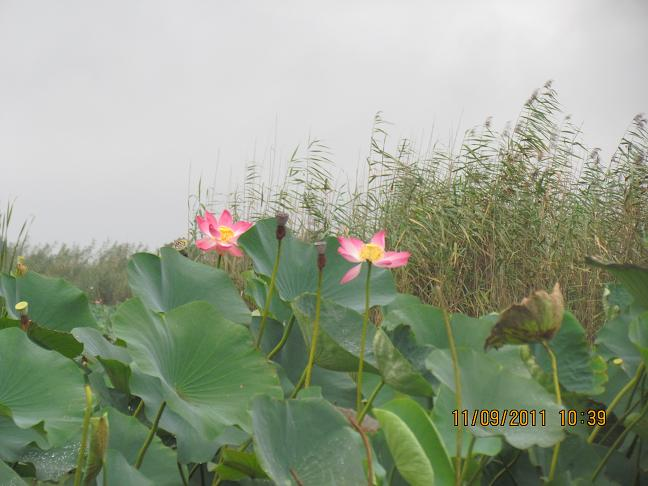 بندر انزلی- تالاب انزلی- گل های نیلوفر آبی
